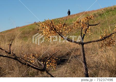 土手の木になる実と土手を散歩する人々 73237496