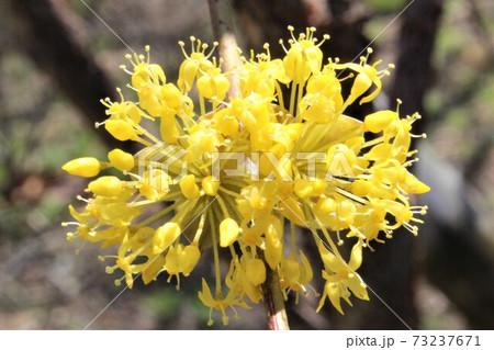 四本の雄蕊が可愛いサンシュユの花 73237671