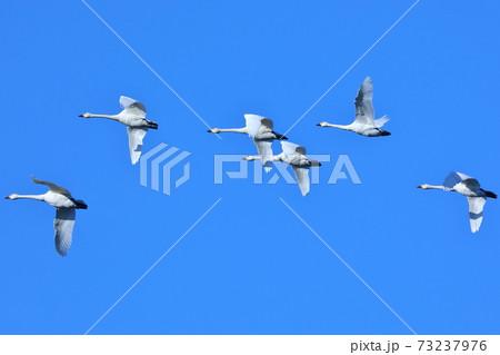 川島町白鳥飛来地から飛び立った白鳥 73237976