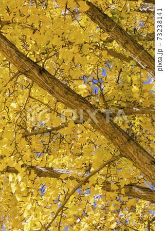黄色に色づく晩秋のイチョウの木 11月秋景 73238141