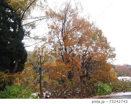雪がかかっている大きな紅葉している木 73242743