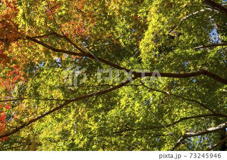紅葉の狭山丘陵 紅葉し始めのモミジ 73245946