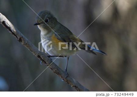 美しいルリビタキ(メス)北本自然観察公園 埼玉県北本市 73249449