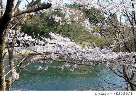 青空を背景に楮川ダムと桜 水戸市 73253971