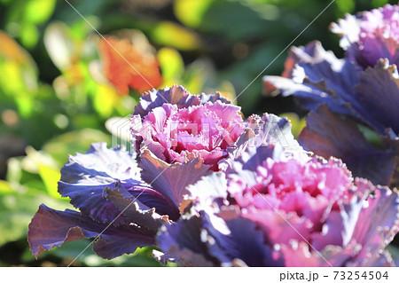 花畑のハボタン  73254504