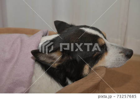 ドッグベッドでピンクのタオルをかけて眠る黒コーギー  73257685
