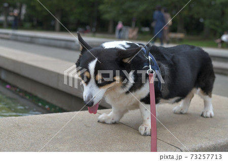水際のコンクリートの上で佇む黒いコーギー犬 73257713