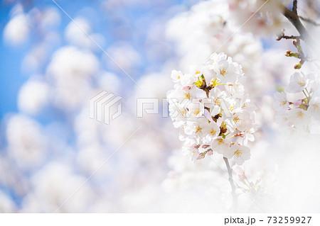 桜 ソメイヨシノ 春の桜 73259927