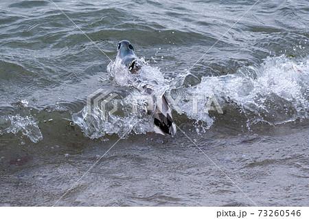 季節風で荒れる琵琶湖で越冬する水鳥 73260546
