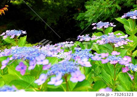 【兵庫県_神戸市】森のアジサイ園 73261323