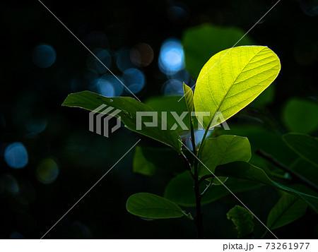 六甲高山植物園/オオバオオヤマレンゲの葉 73261977