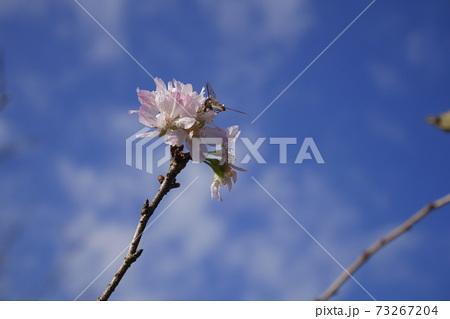 青空に咲く早咲きの桜と蜜を吸う昆虫 73267204