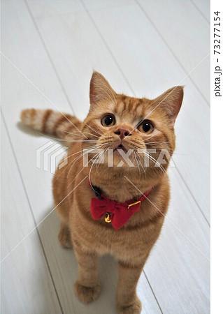 お座りをするスコティッシュフォールド猫 73277154