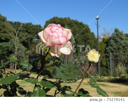 十二月でも咲いていた桃色のバラの花 73279141