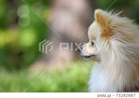 散歩中に遠くを見つめる犬 ポメラニアン 73282667
