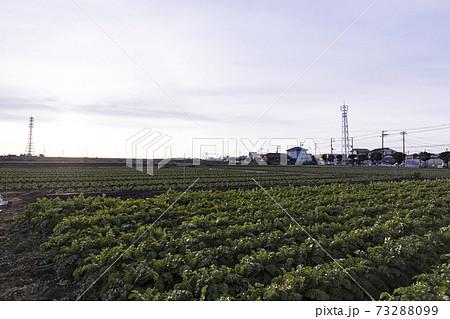 湘南三浦半島の神奈川県三浦市の特産のキャベツ畑・大根畑の冬 73288099