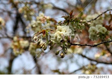 つぼみから咲きはじめたばかりの桜 73289453