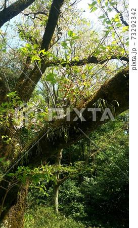 春の朝方、幹から葉っぱが生えている樹木を偶然発見 73292342
