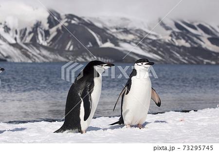 ヒゲペンギン 73295745
