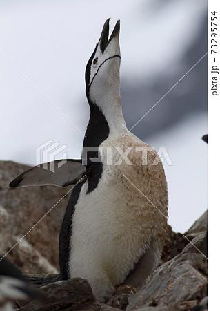 ヒゲペンギン 73295754