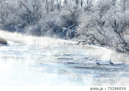 北海道 阿寒郡鶴居村の樹氷とタンチョウ鶴 73296059