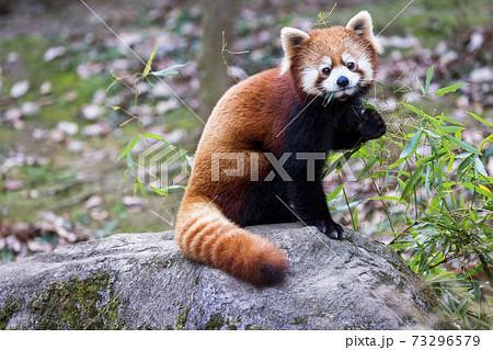 レッサーパンダ 多摩動物公園 73296579