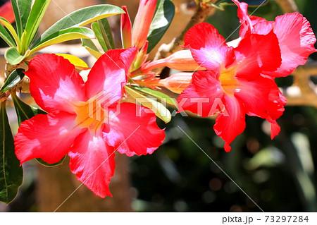 色鮮やかな砂漠の薔薇・アデニウムオベスム 73297284