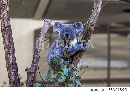 多摩動物公園 コアラ / Koala 73301346