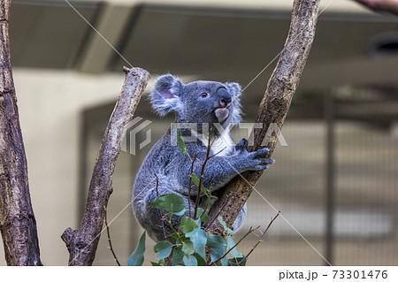 多摩動物公園 コアラ / Koala 73301476