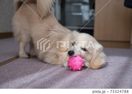 ボールで遊ぶ子犬 ミックス犬 ポメックス 73324788