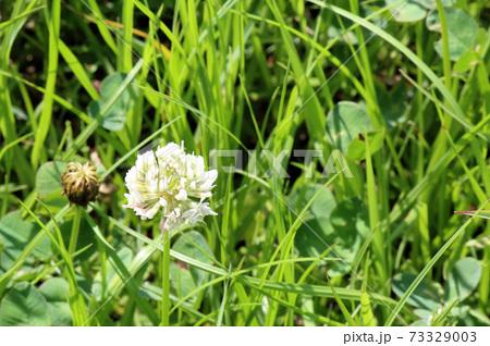 野原に咲くシロツメクサの花-ヨコ(コピースペース) 73329003