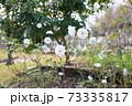 バラの花 シュネービッチェン 73335817