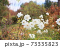 バラの花 シュネービッチェン 73335823
