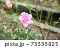 バラの花 ホームアンドガーデン 73335825