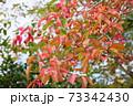 マユミ紅葉 73342430