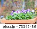 ビオラの花 73342436