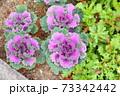 ハボタンの花 73342442