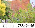 サルビアの花 インヴォルクラタ 73342446