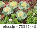 ハボタンの花 73342448