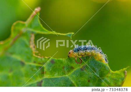 朝露を纏うハグロハバチ幼虫(イモムシ)11月 73348378