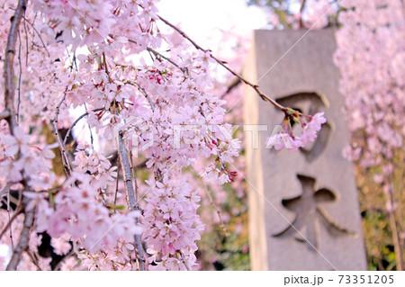 【東京】春の乃木神社 社標と枝垂れ桜 73351205