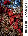 春が近づく公園に咲く赤い梅の木に咲く花(イラスト) 73363247