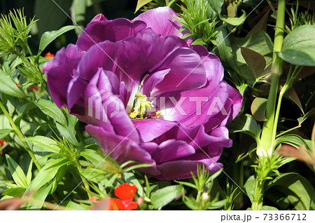 紫のバラのようなチューリップ:ブルーダイヤモンド 73366712