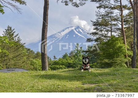 富士山と黒柴 73367997