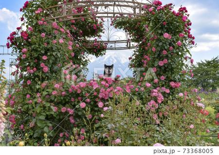 薔薇と富士山と黒柴 73368005