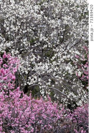 早春の共演、辛夷と紅梅の共演する早春風景 73369420