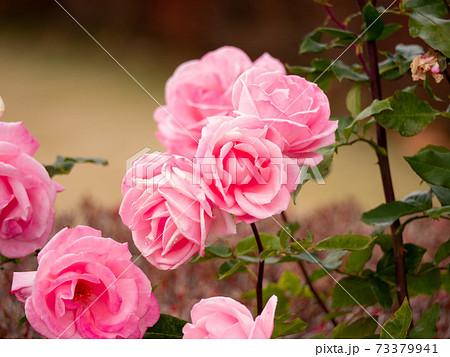 12月のピンクの薔薇(プリンセスアイコ_クローズアップ) 73379941