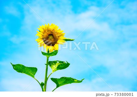 少し霞掛かった青空と一輪の向日葵 73380001
