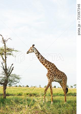 野生のキリン (アフリカ サファリの風景) 73387346