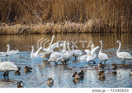 御宝田遊水地 叫んで威嚇する白鳥 73390850